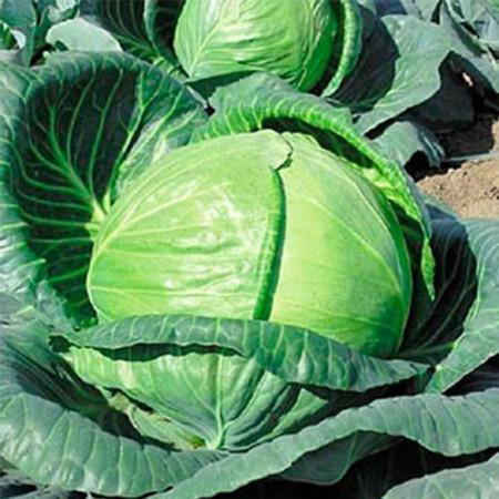 Тобия F1 (Tobia F1) — семена капусты, SEMINIS