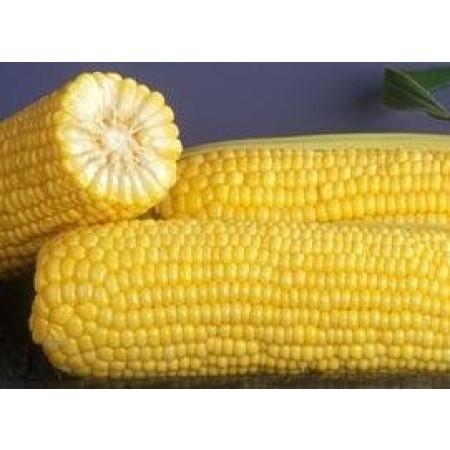 ГХ 6462 F1 (GH 6462 F1) — семена кукурузы, SYNGENTA