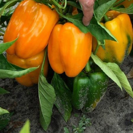 Джемини F1 (Gemini F1) — семена перца, BAYER