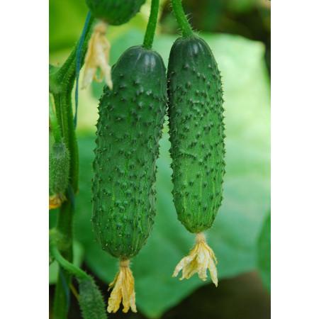 КАПРИКОРН F1 (KAPRIKORN F1) - семена огурца