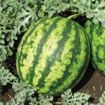 СУЛТАН F1( SULTAN F1) — семена арбуза, Lark Seeds