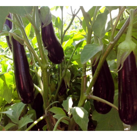Дестан F1 (Destan F1) — семена баклажанов, ENZA ZADEN