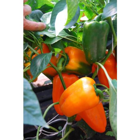 ТРИОРА F1 (TRIORA F1) - семена переца сладкого, Rijk Zwaan (Pepper/Перец)