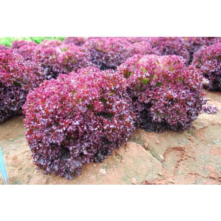КАРМЕЗИ (CARMESI) - семена салата, Rijk Zwaan (Salad/Салат)