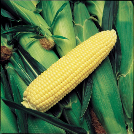 Оверленд F1 (Overland F1) — семена кукурузы, SYNGENTA