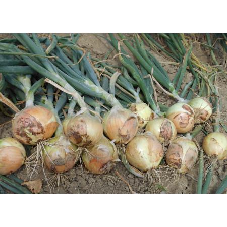 Семена озимого лука Голден Мун F1