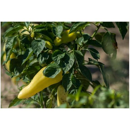 Диментио F1 (Dimentio F1) — семена перца, SYNGENTA