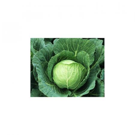 Ирида F1 (IRIDA F1) — семена капусты, Agri Saaten