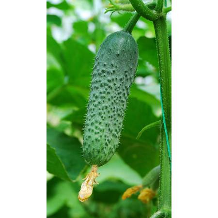 КИБРИЯ F1 (KYBRIA F1) — семена огурца Rijk Zwaan