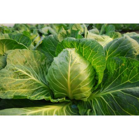 Миррор F1 (Mirror F1) - семена капусты, Syngenta