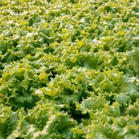 АФИЦИОН (AFICION) - семена салата, Rijk Zwaan