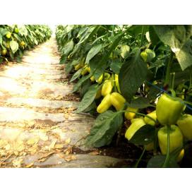 Минтос F1 (Mintos F1) — семена перца, SYNGENTA