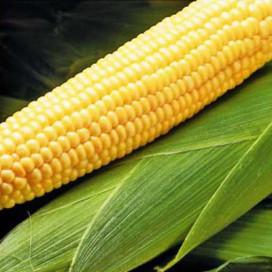 Бостон F1 (Boston F1) — семена кукурузы, SYNGENTA