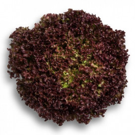 ВИЛБУР F1 (WILBUR F1) - семена салата, Rijk Zwaan
