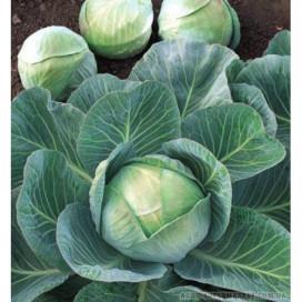 Аммон F1 (Ammon F1) — семена капусты, SEMINIS