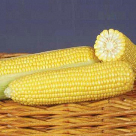 ГСС 1477 F1 (GSS 1477 F1) — семена кукурузы, SYNGENTA