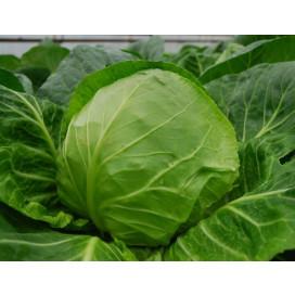 Свирель F1 (Svirel F1) — семена капусты, BAYER