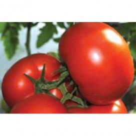 Панекра F1 (PANEKRA F1) — семена томата, SYNGENTA