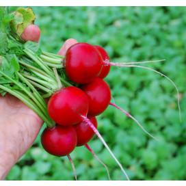 АДЕЛЬ F1 (ADEL F1) семена редиса Lucky seed