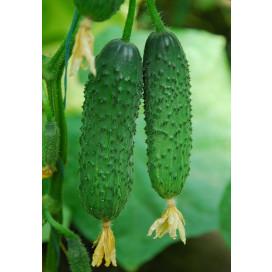 КАПРИКОРН F1 (KAPRIKORN F1) - семена огурца, Yuksel Seeds