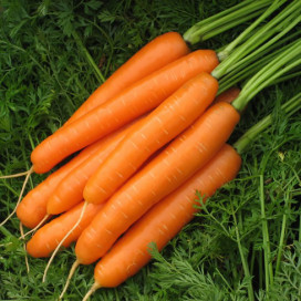 Карведжо F1 (Carvejo F1) — семена моркови, SEMINIS