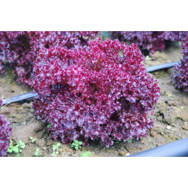 КАРМЕЗИ (CARMESI) - семена салата, Rijk Zwaan