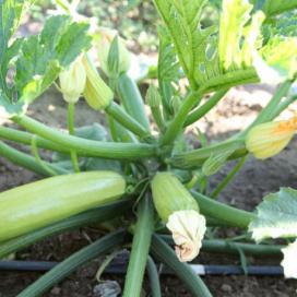 Дафна F1 (DAFNA F1) — семена кабачков, SYNGENTA
