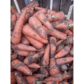 Санта Круз F1 (Santa Cruz F1) — семена моркови, SEMINIS