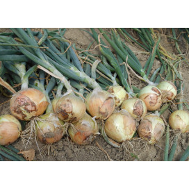 Голден Мун F1 (GOLDEN MOON F1) - семена лука, Agri Saaten