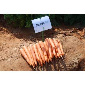 ДЖЕРАДА F1 (JERADA F1) - семена моркови, Rijk Zwaan