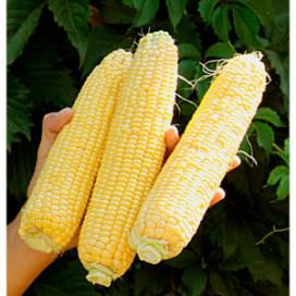 Джубили F1 (Dzhubili F1) — семена кукурузы, SYNGENTA