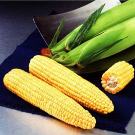 Шайнрок F1 (Shinerock F1) — семена кукурузы, SYNGENTA